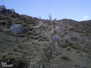 aladag-bitki-devedikeni1-1