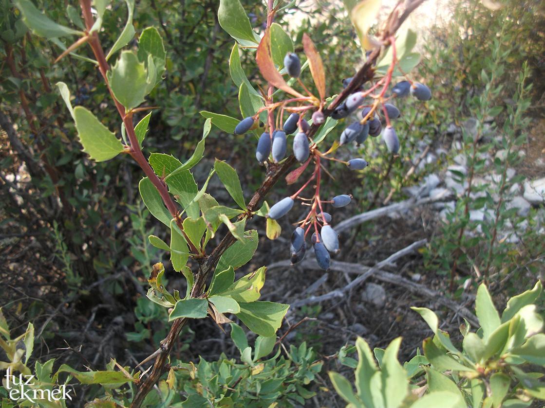 aladag-bitki-karamuk1-1